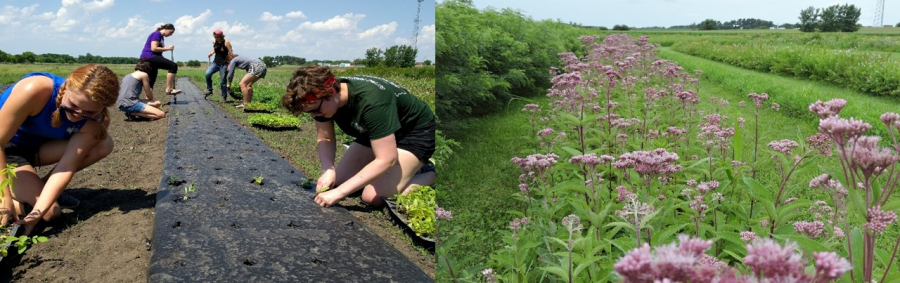 University student workers and volunteers transplant seedlings into plastic mulch strip in late spring; seed production plot of spotted Joe Pye weed flowering in summer