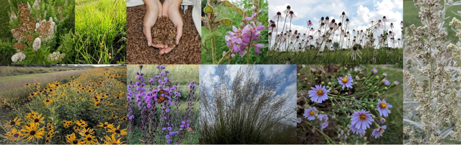 Variety of prairie species of different plant functional groups and at different stages of production