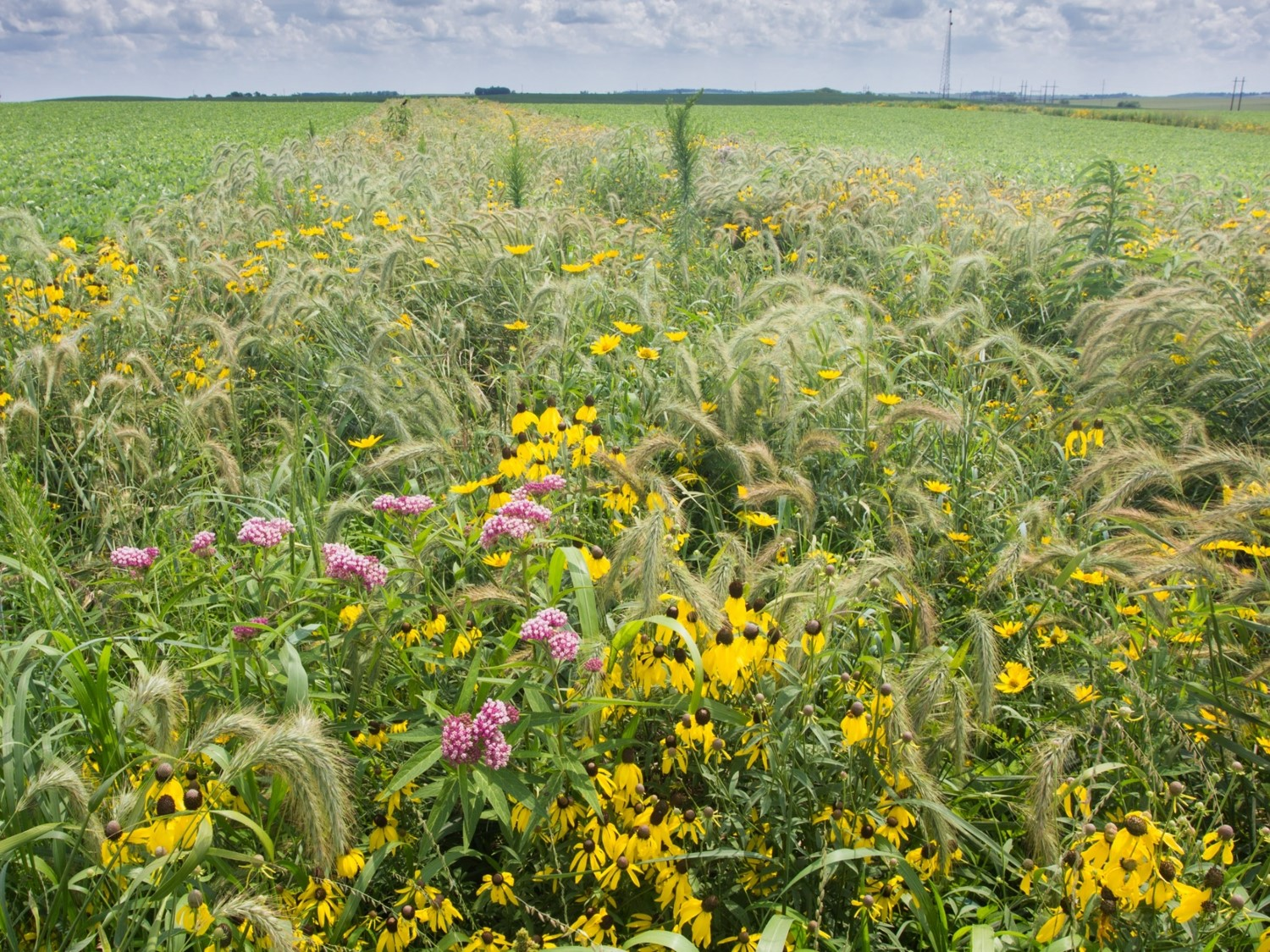 Looking at a diverse prairie strip planting in a corn field. It is a summer day and the flowers are blooming.