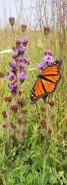 Monarch on Liatris aspera
