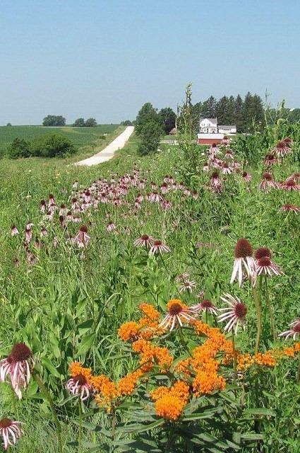 Pale purple coneflower stand proudly along this Linn County secondary road.