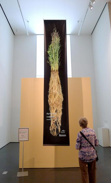 Woman viewing prairie root banner in museum.
