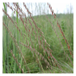 Side-Oats Grama