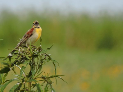 a bird sings from the top of a tall plant