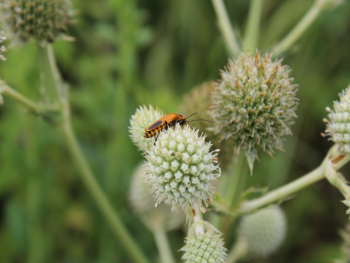 Beetle on rattlesnake master