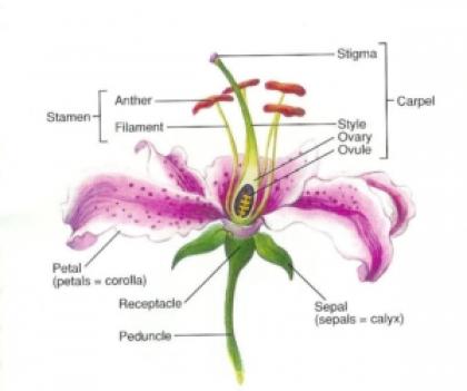 Flower Parts Diagram