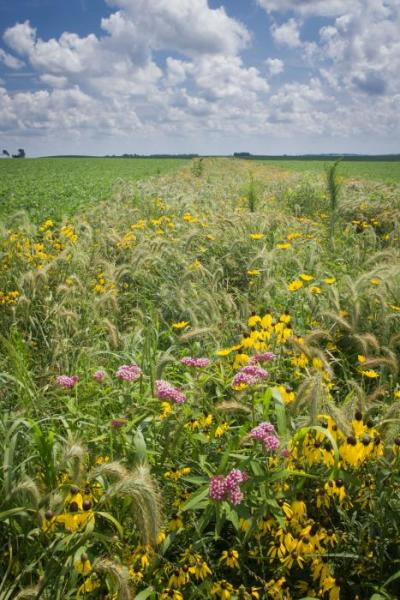 In field prairie strip. Picture taken in year 2.