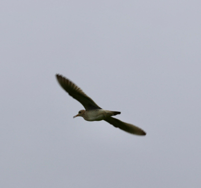 an upland sandpiper in the sky above Irvine Prairie