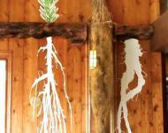 Dickinson County's big bluestem root