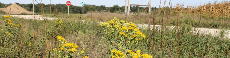 Pictures of goldenrods in county road