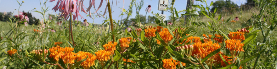 Butterfly weed and IRVM