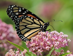 a Monarch butterfly on a milkweed flower