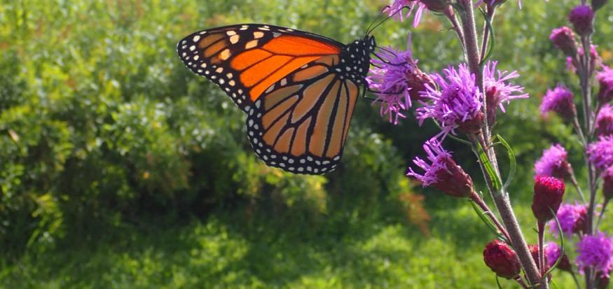 Monarch butterfly on Liatris ligulistylis