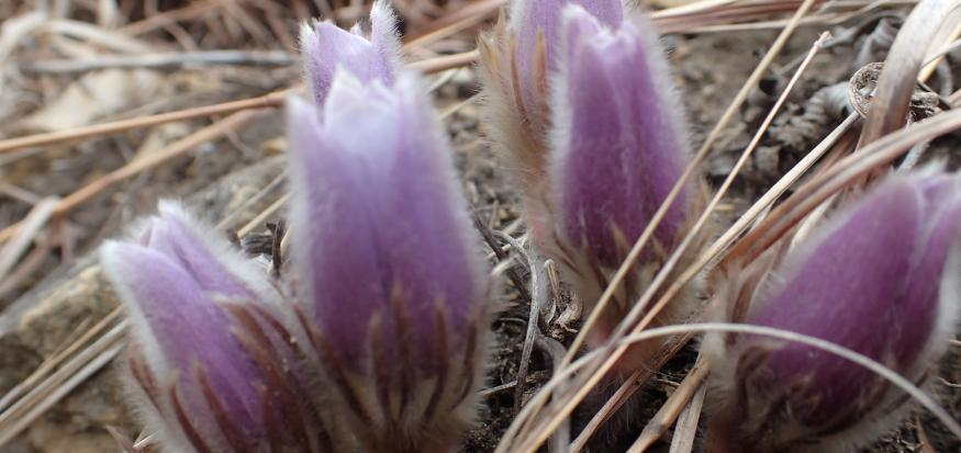 Pasque flowers in bloom