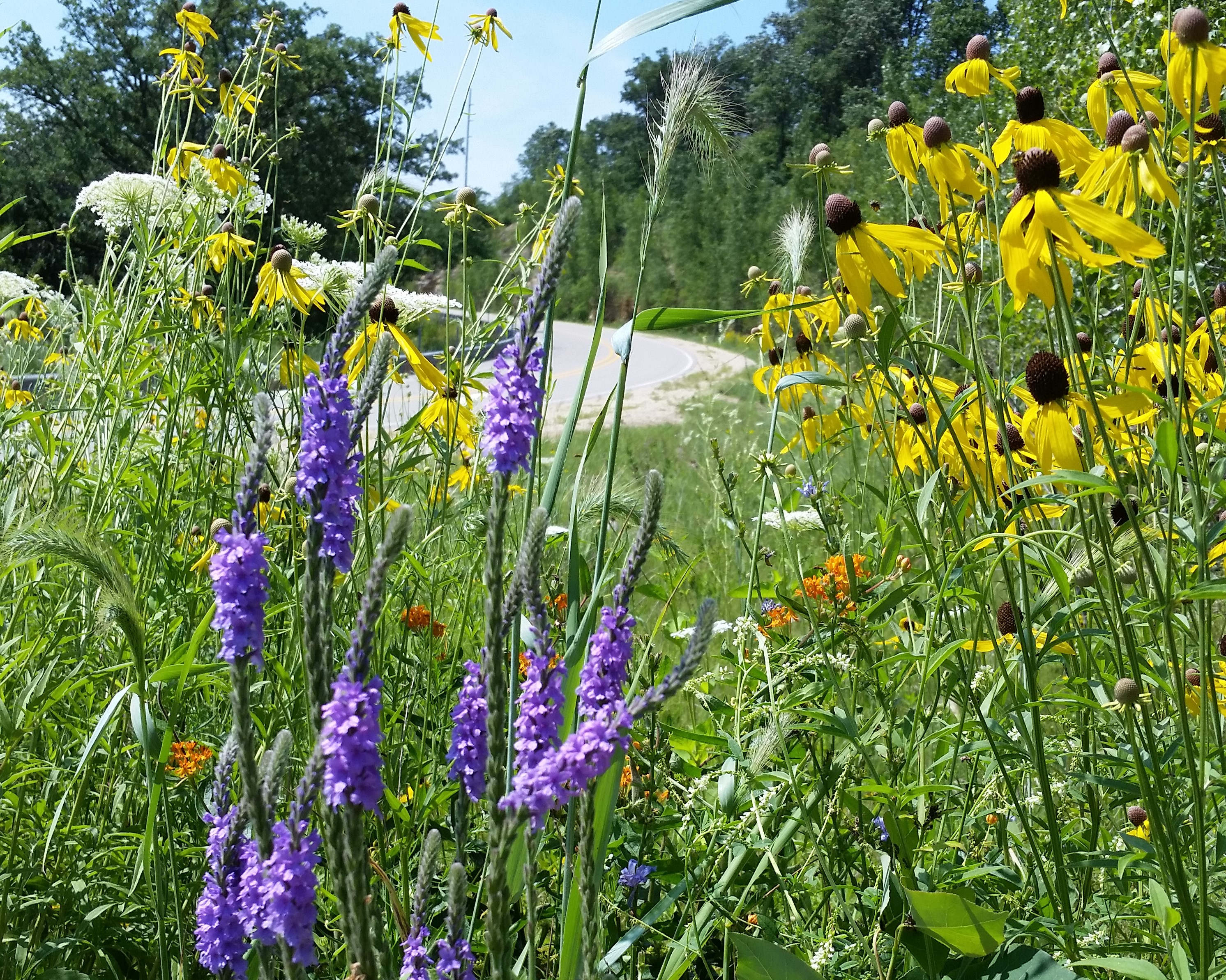 Roadside planting in Winneshiek County